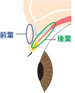 瞼前葉と後葉の図
