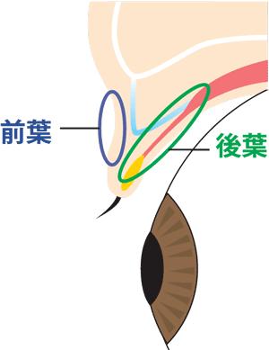 まぶたの前葉と後葉 イメージ