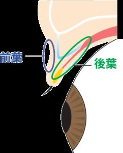 前葉と後葉の位置を解説