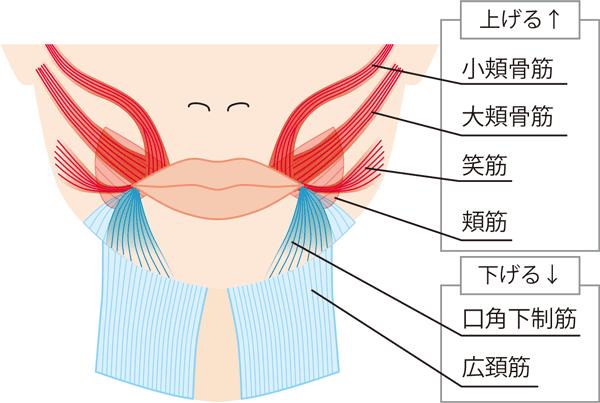 口周りの筋肉