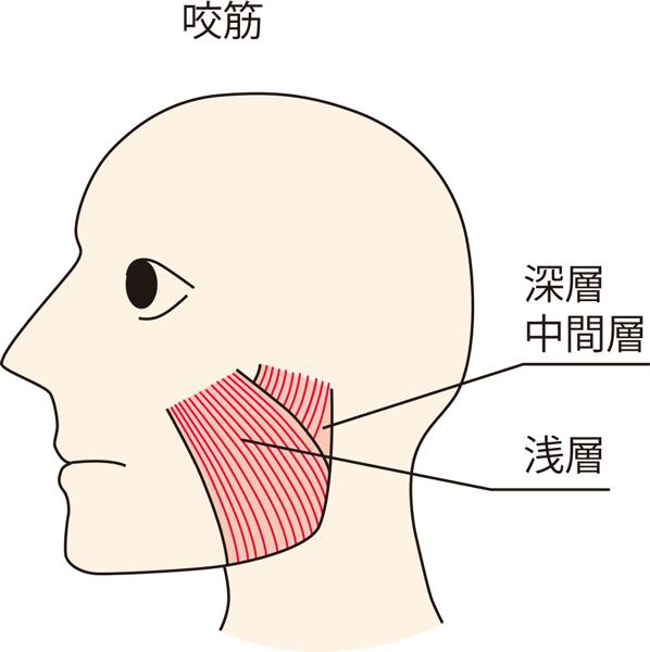 咬筋の三層構造