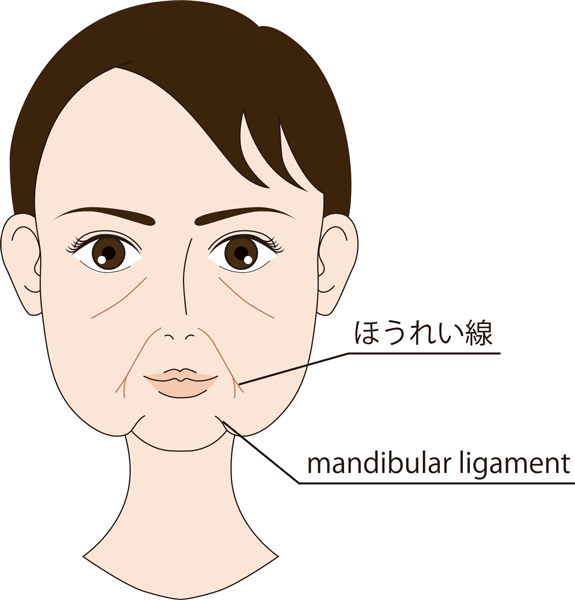 ほうれい線、mandibular-ligament