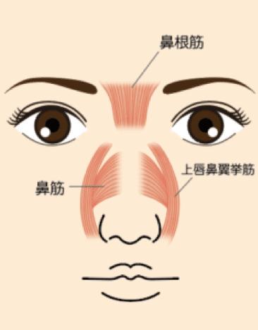 鼻根や鼻背の筋肉の位置